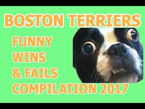 Funny Boston Terrier Fails and Wins - Try not to laugh or grin