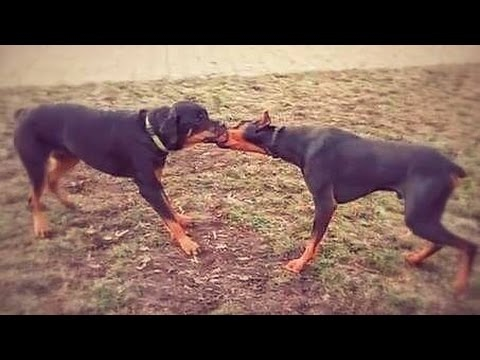 Doberman vs Rottweiler - Supreme Compilation