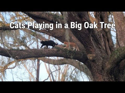 Cats Playing In A Big Oak Tree