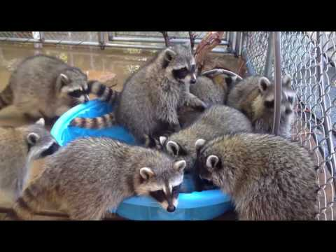 Приколы с енотом смотреть - Приколы c животными