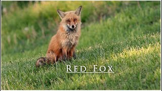 Red Fox Den with Kits in 4k