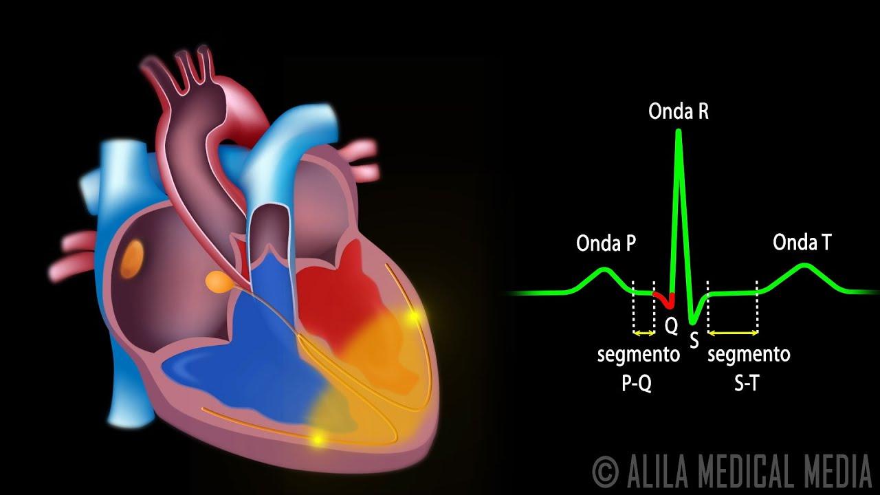 El Sistema De Conducción Cardíaca Y La Relación Con ECG