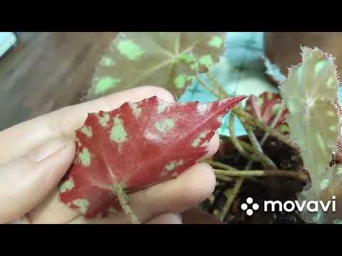 Бегонии декоративно-лиственные. Виды, уход, размножение, цветение