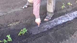 Как посадить рассаду помидор. Помидоры рассада(Посадить рассаду помидор купленных на рынке, несложно., 2015-05-12T20:12:04.000Z)