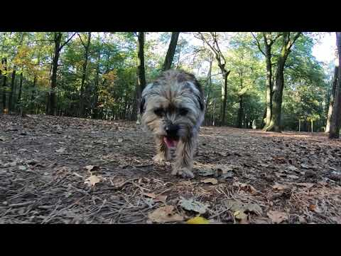 Indian Summer with Border Terrier Jack