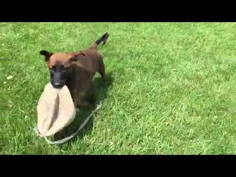 Dark - Belgian Shepherd Malinois  Puppy for sale