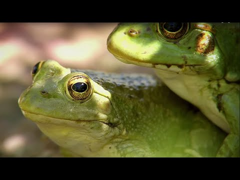 Frogs Hunting Butterflies   BBC Earth