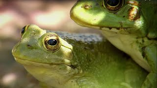 Frogs Hunting Butterflies | BBC Earth