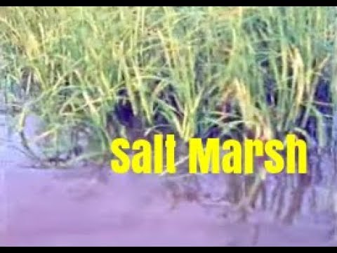 The Ecological System of the Salt Marsh