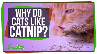 Why Do Cats Like Catnip?
