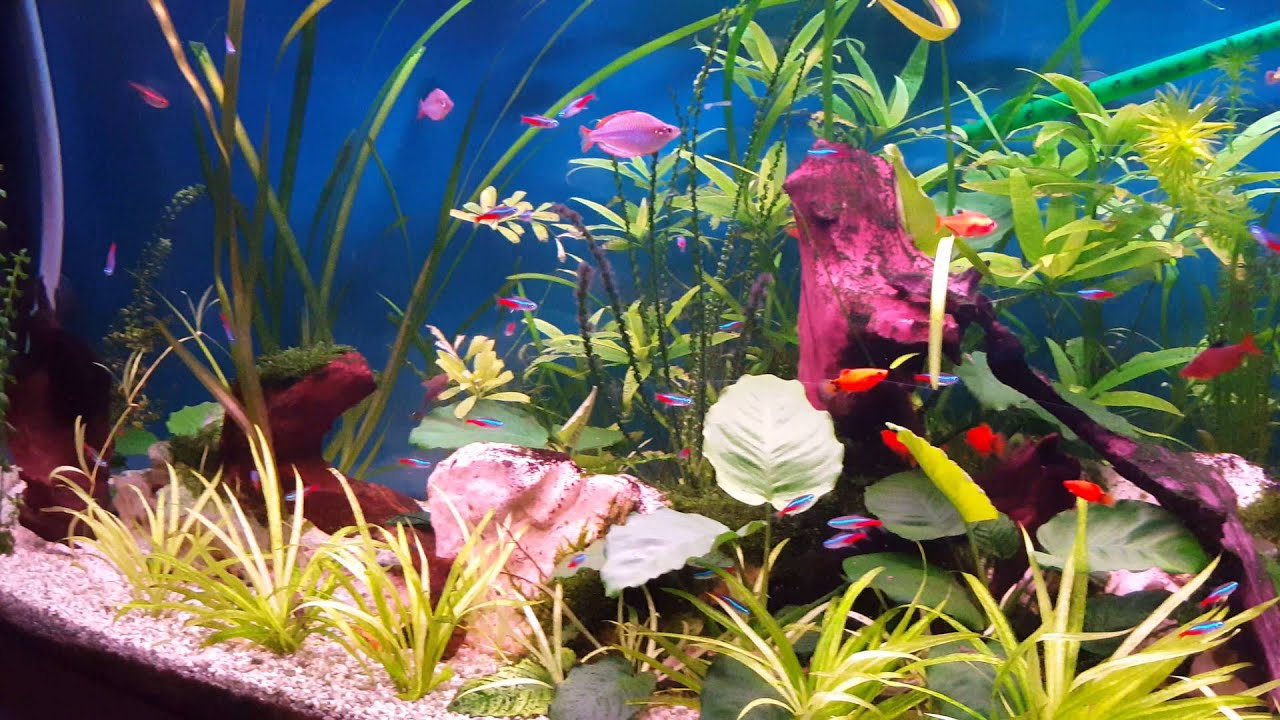 zoetwater aquarium,freshwater aquarium   YouTube