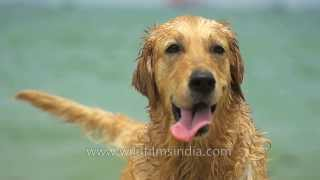 Golden Retriever Swims In Sea And Comes Out Wet, In Slow Motion