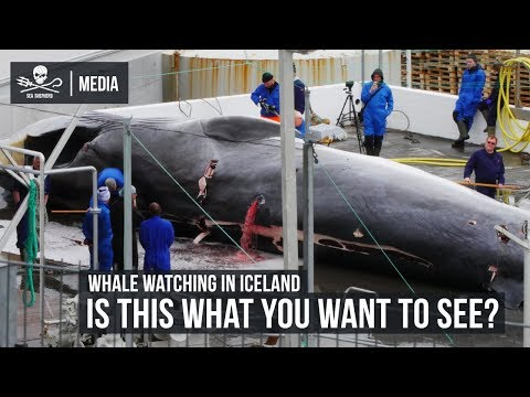 Whale Watching in Iceland: Is this what you want to see?