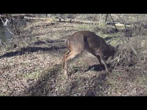 Men wrestle 8 point deer to save its life (buck)