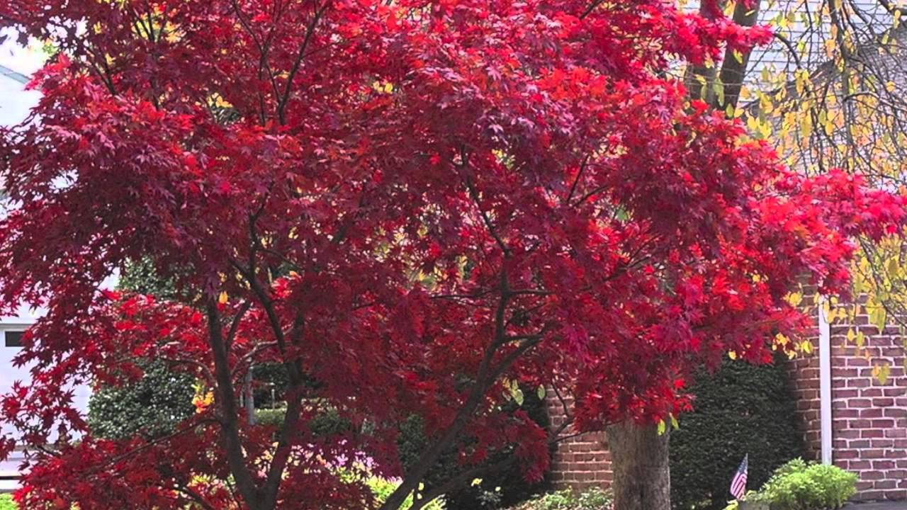 Anese Maple Trees For A Burst Of Color Year Round In Landscaping