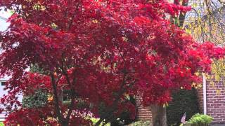 Buy japanese Maple Trees For A Burst Of Color Year Round In Landscaping