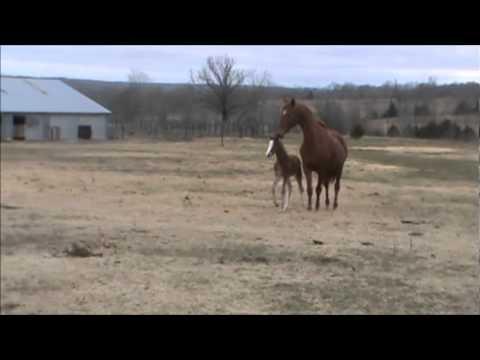 Caspian, Shovan's Finale, stalks American Saddlebred, Missouri Showtime, & her foal.