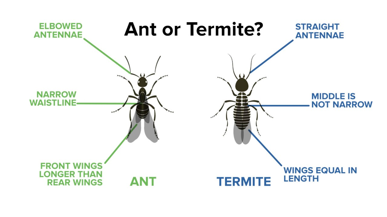 Identifying Ants Vs Termites Youtube