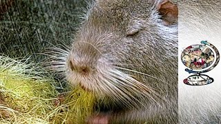 Why Did Thai Giant Rat Trade Collapse