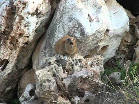 Hyrax Singing on a Rock