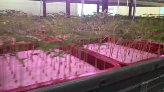 담수경재배 인삼농장(양평) Ginseng - Hydroponics system