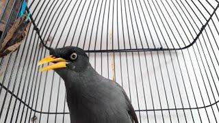 Suara burung jalak kerbau ngoceh pancingan jalak kebo