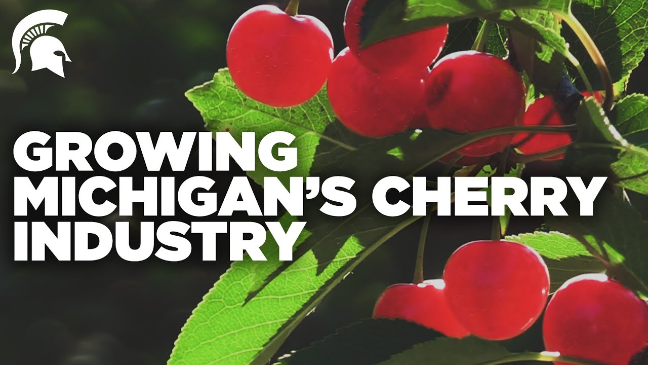 Spartans help grow Michigan's cherry industry