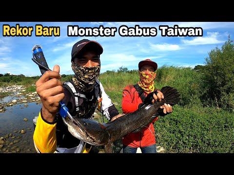 PEMECAH REKOR BARU !! MONSTER GABUS TAIWAN    CASTING GABUS / HARUAN