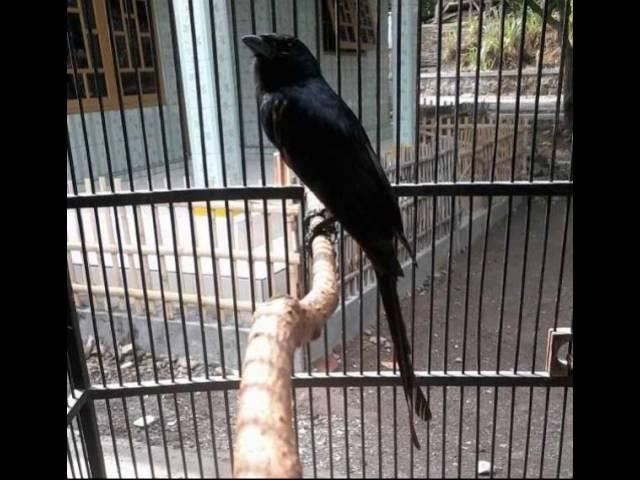 Download Suara Burung Srigunting Betina Mp3 Mp4 3gp Flv Download Lagu Mp3 Gratis