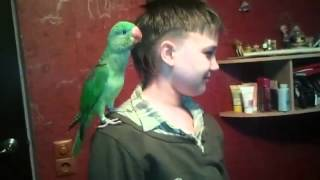 Александрийский попугай из питомника