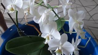 Как заставить орхидею цвести долго!Мой метод!