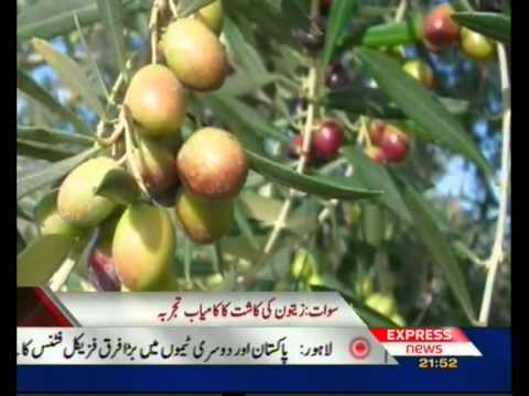Olive Plantation in Pakistan