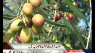 Development of the olive in swat Valley Pakistan sherin zada express news swat.flv