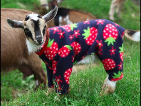 Sunflower Farm Goats in Pajamas! Long Version...for fans ...