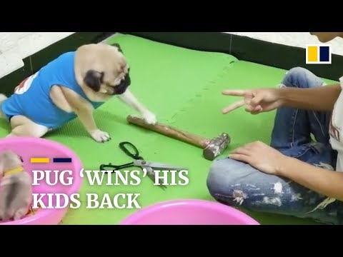This pug can play rock-paper-scissors