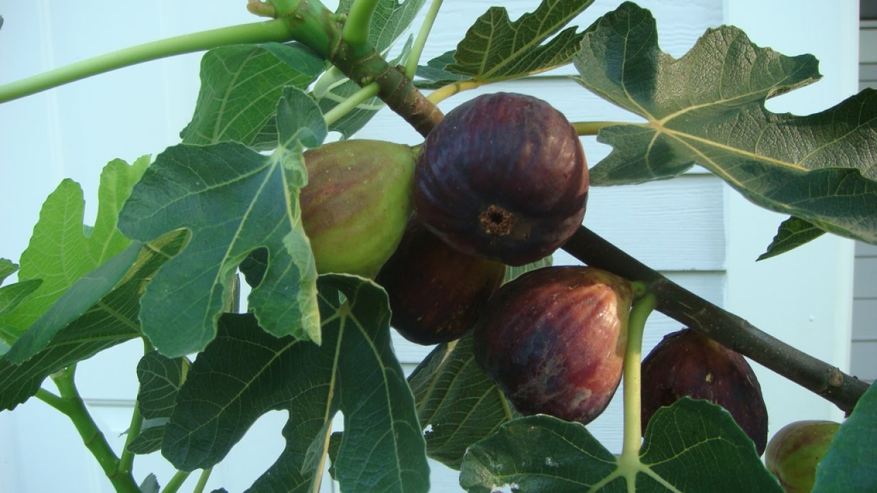 Growing Fig Trees In The South
