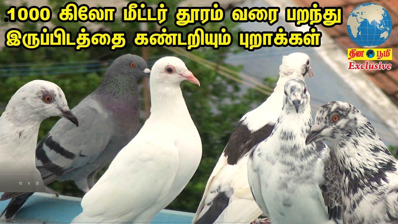 1000 கிலோ மீட்டர் வரை பறந்து இருப்பிடத்தை கண்டறியும் பந்தய புறாக்கள் |Racing Pigeon | புறா வளர்ப்பு