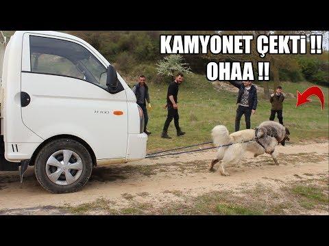 KAMYONET ÇEKTİ !! TÜRK ASLANININ OHAA !! DEDİRTEN MUHTEŞEM GÜCÜ ! #Kafkasçoban #kangal #malaklı