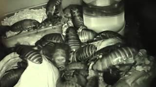 Мадагаскарские шипящие тараканы Gromphadorhina   кормление 3