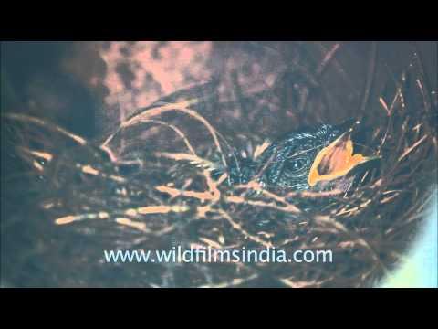 Magpie Robin chicks in nest, Panna