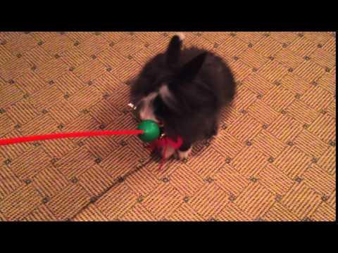 Игры с кроликом ( домашний кролик играет )