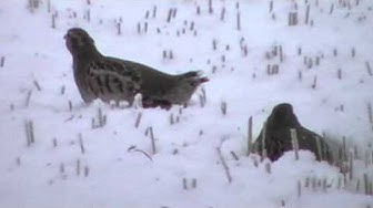 Peltopyy talvella (Perdix perdix)