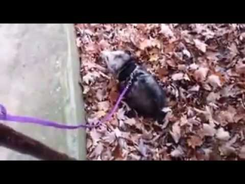 Blossom O Possum : the leash and potty trained o'possum ...
