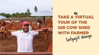 Two Brothers Organic Farms Open Cow Shed - Indian Indigenous Cows (Desi Cows) Gir variety