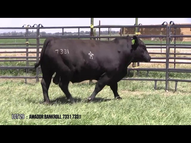 Mid Valley Bull Sale Lot 29