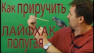 Приручение попугая, несколько лайфхаков для обучения и содержания попугая.