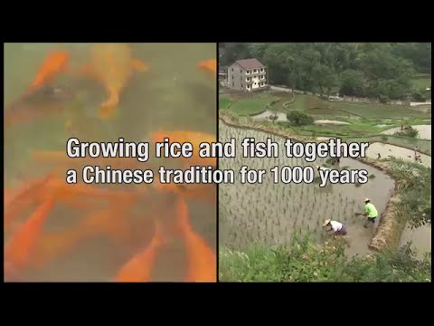 Growing rice and fish together in China