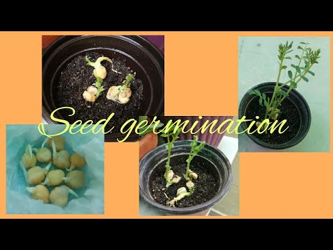 Seed Germination / Journey From Seed To Shoot / Experiment For Kids.
