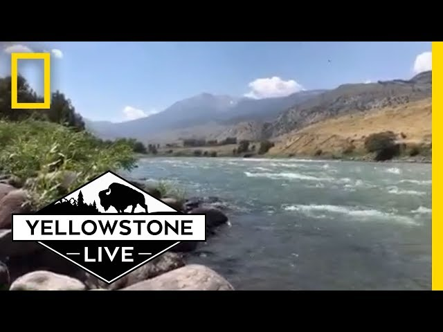 Relaxing Yellowstone River LIVE!   Yellowstone Live
