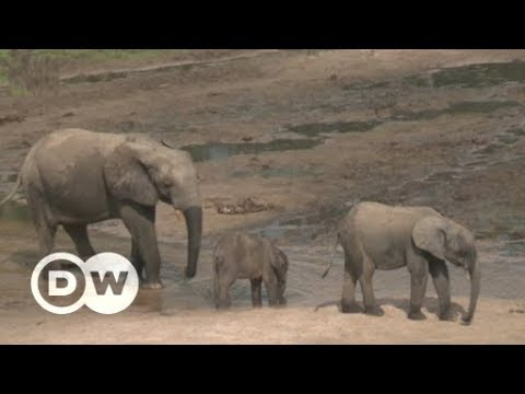 Conflict and elephant conservation in the Central African Republic | DW English